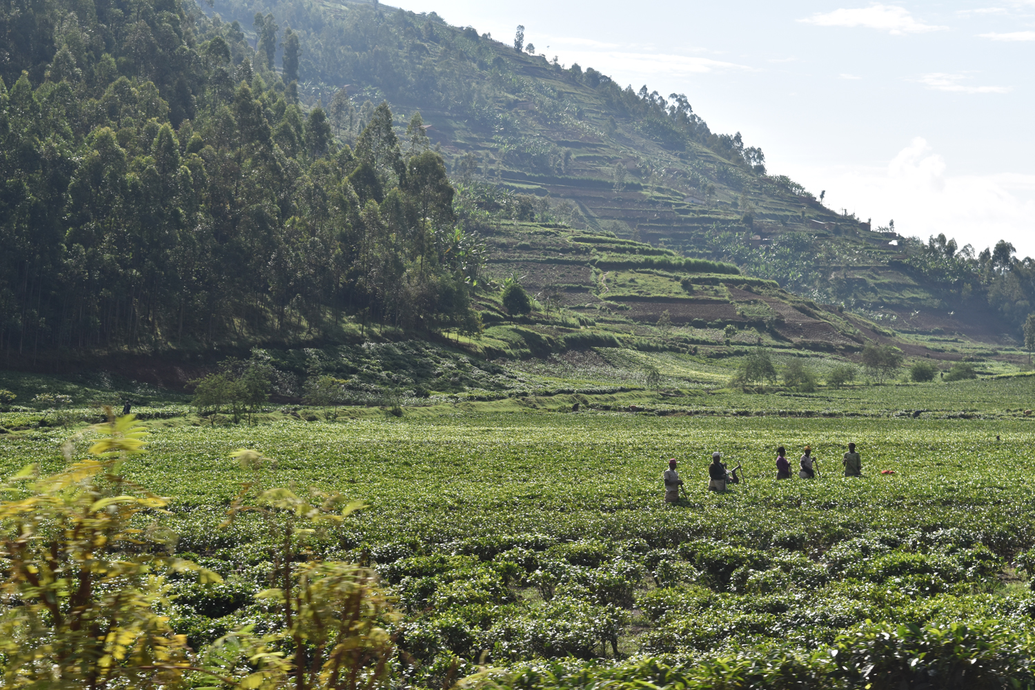 All the tea in Rwanda. It's a super-beautiful country!